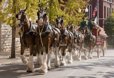 Picture of the real Budweiser Clydesdales pulling a wagon